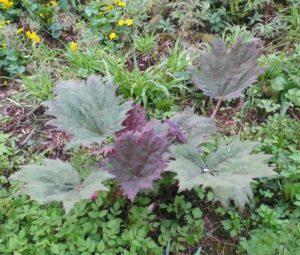 Rheum showing purple foliage