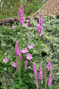 "Foxgloves ""Digitalis"""