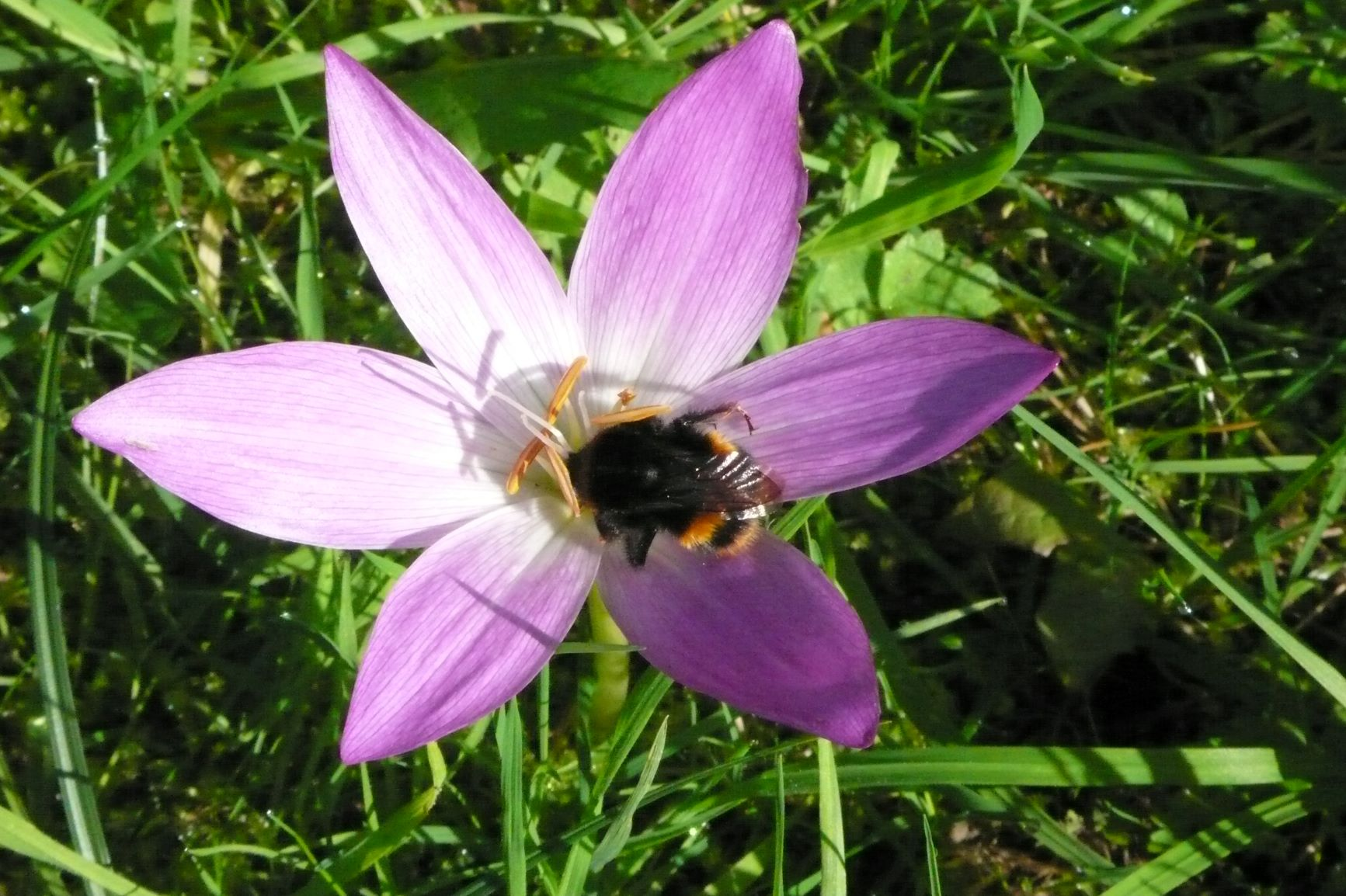 Bee feeding on autumn crocus