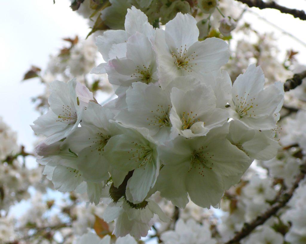 malus in blossom