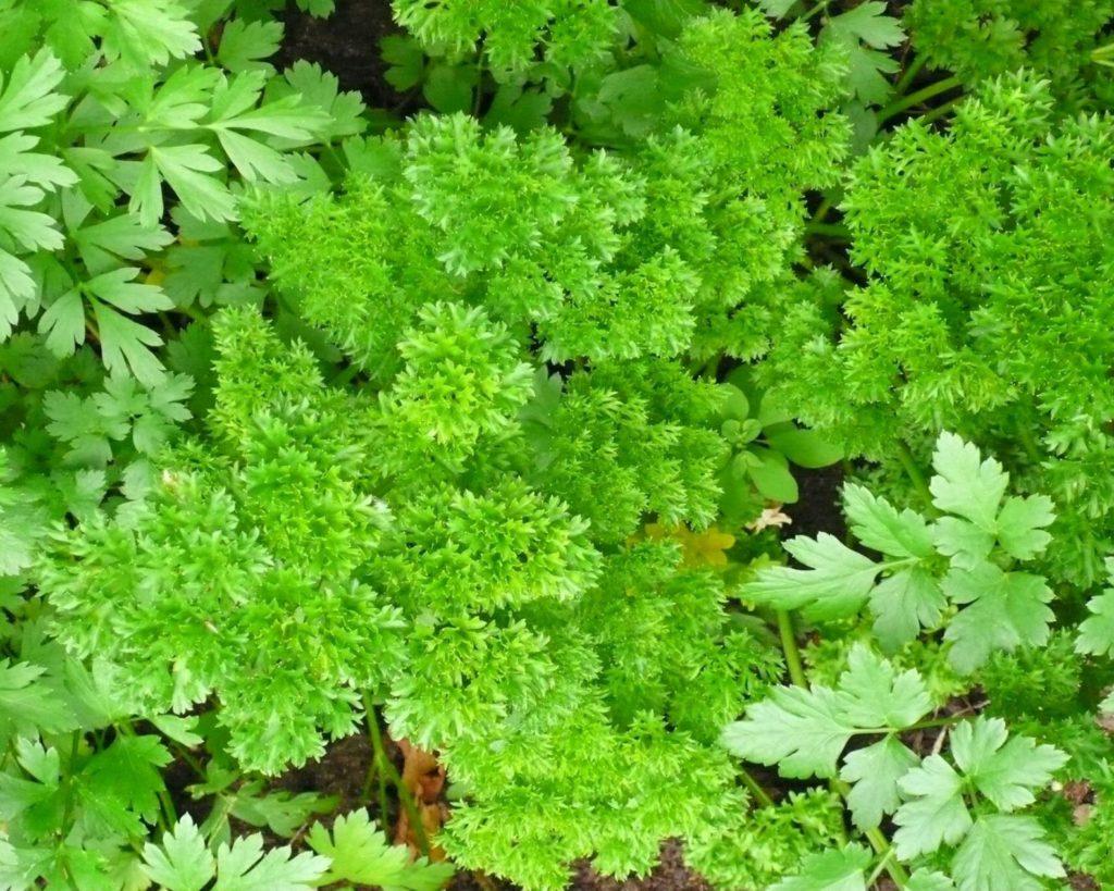 herbs in the vegetable garden