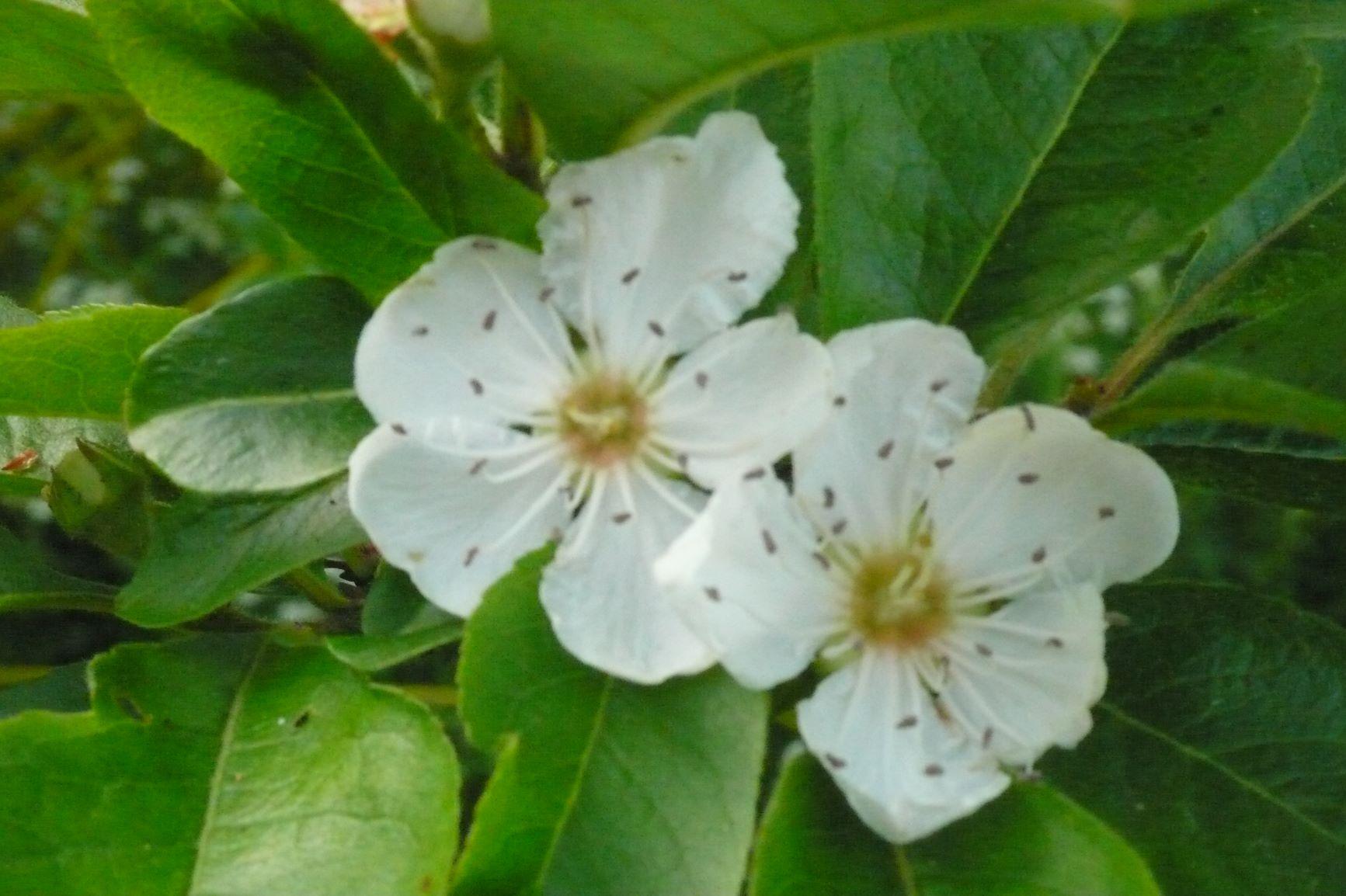 X Crataemespilis grandiflora